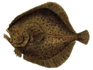 Камбала калкан свежемороженая рыба